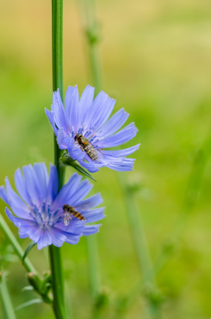 Chicory flower in nature
