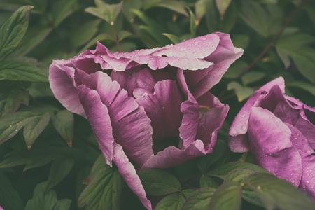 Peony flower background 写真素材