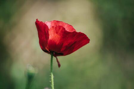 Coquelicot rouge de printemps Banque d'images
