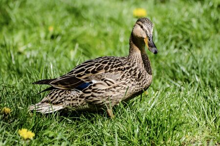Single brown duck