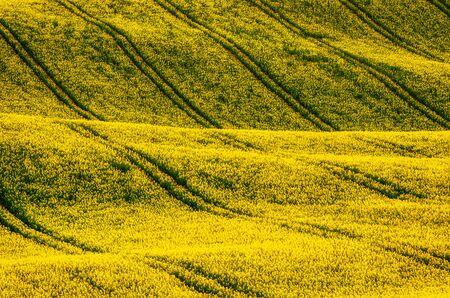 Campo amarillo de colza en primavera