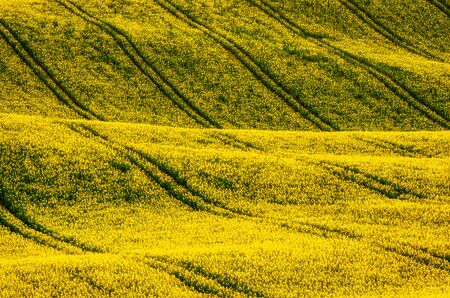 Rapeseed yellow field in spring
