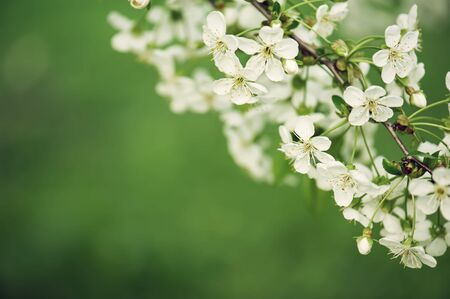 Blossoming of cherry flowers in spring time with green leaves, macro, frame
