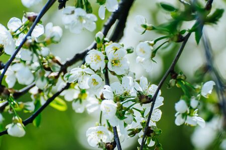 Blossoming of cherry flowers in spring time with green leaves and copyspace, natural seasonal floral background
