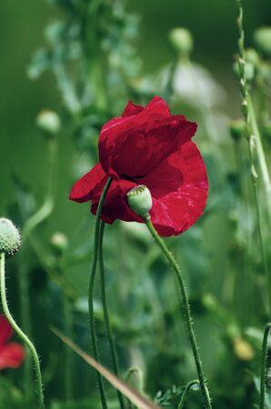 Red poppy flowers blooming in the green grass field, floral natural spring background, can be used as image for remembrance and reconciliation day Zdjęcie Seryjne