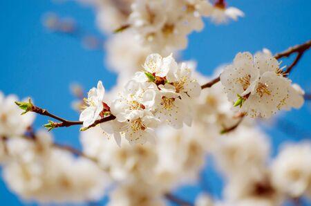 Apricot tree blossoms Stok Fotoğraf - 132054870