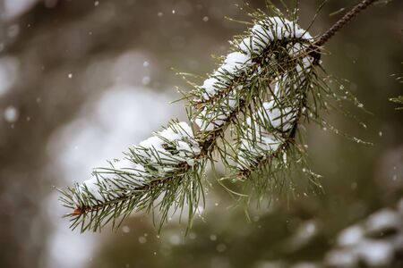 Background from fir tree branches covered with a snow, seasonal natural holiday christmas and new year concept Stok Fotoğraf