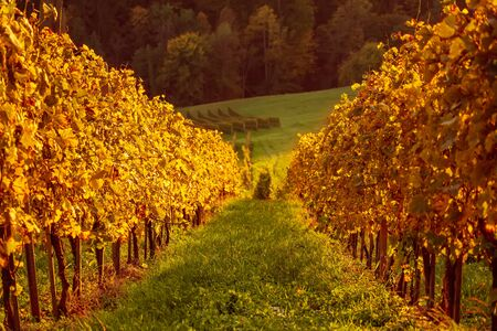 Landscape with autumn vineyards and sunny leaves on wine branches, natural agricultural background 免版税图像