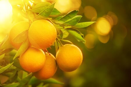 Orange garden with ripening orange lemon fruits on the trees with green leaves, natural and food background Banque d'images