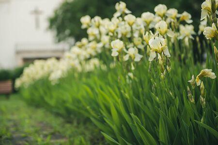 Iris flower blooming at church yard Banco de Imagens