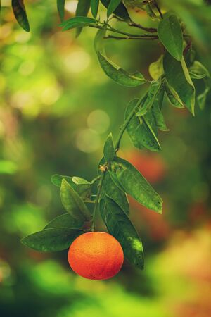 Tangerine sunny garden with green leaves and ripe single fruit. Mandarin orchard with ripening citrus fruit. Natural outdoor food background