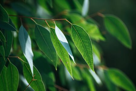 Zielone liście eukaliptusa