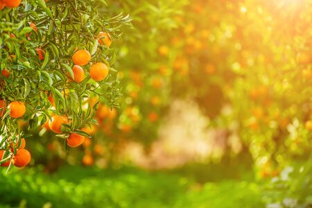 Tangerine sunny garden with green leaves and ripe fruits. Mandarin orchard with ripening citrus fruits. Natural outdoor food background Banque d'images