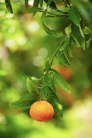 Tangerine sunny garden Stock fotó