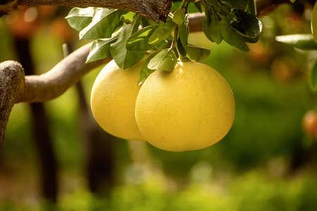 Pomelo fruit in garden Stock fotó