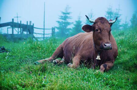Dairy cow lying at meadow Banco de Imagens