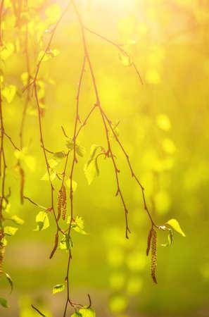 Spring birch branches 스톡 콘텐츠