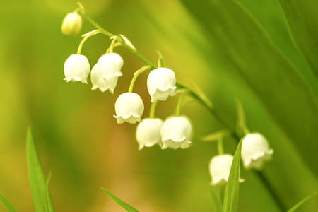 Lily of the valley Banque d'images