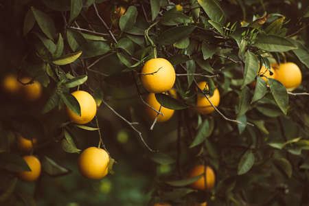 Tangerine garden with fruits