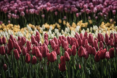 Colorful Tulips At Emirgan Park, Istanbul