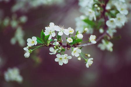 Cherry flowers frame Stok Fotoğraf