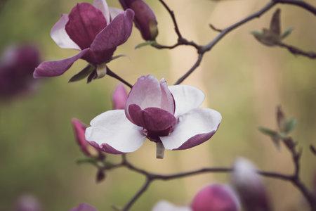 Magnolia spring flowers Stok Fotoğraf - 161113140