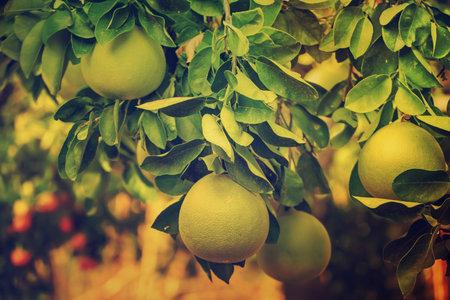Pomelo fruit in garden Stok Fotoğraf