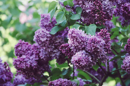 Spring lilac flowers