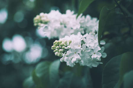 Spring lilac white flowers