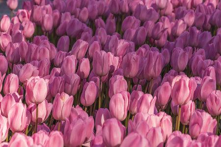 Violet tulip flowers Stok Fotoğraf