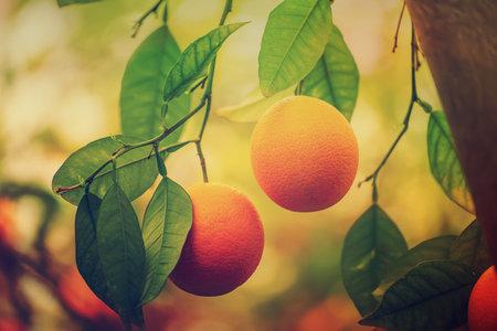 Orange garden with fruits
