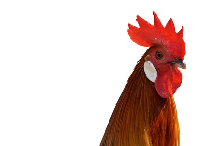 portrait of a rooster on white background photo
