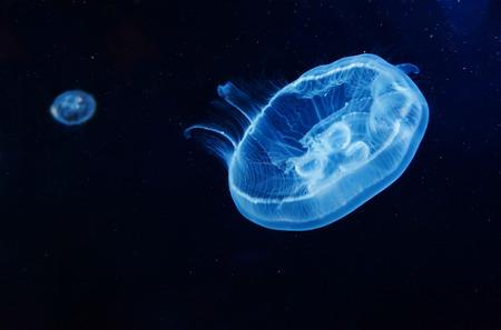 luminescence: Closeup of Beautiful Moon Jellyfish