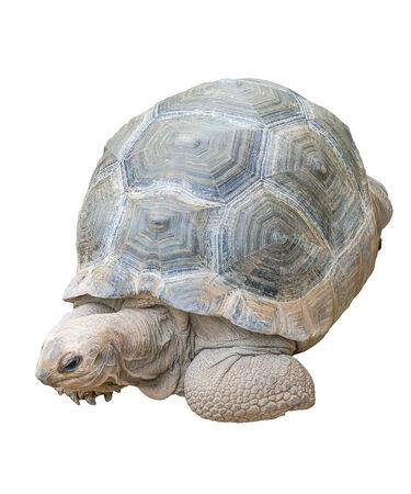 Turtle isolated on white background testudo hermanni, (Hermans Tortoise)