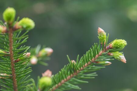 Young fir branch in spring close up photo