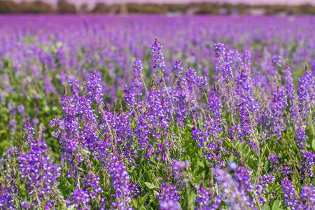 vetch: Purple flower vetch (Vicia cracca) on meadow.