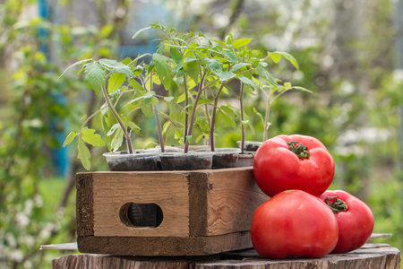 tomate: Young tomato seedlings in a wooden box