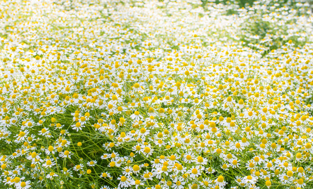 matricaria: Matricaria chamomilla flowers on meadow, selective focus, background Stock Photo