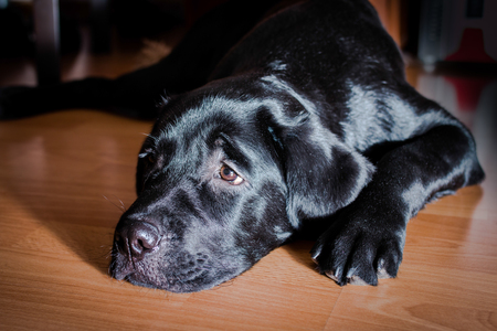 shiny black: Black Labrador Retriever puppy with shiny fur in the interior