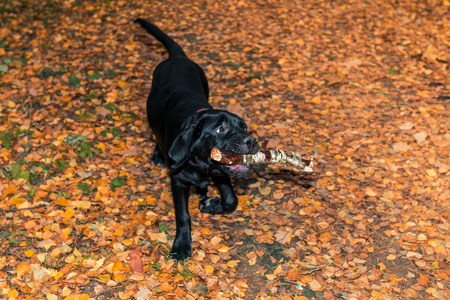 fetching: Black labrador retriever puppy holding a stick in his mouth in the autumn forest on the background