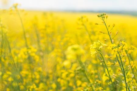 Rapeseed field (Brassica napus)