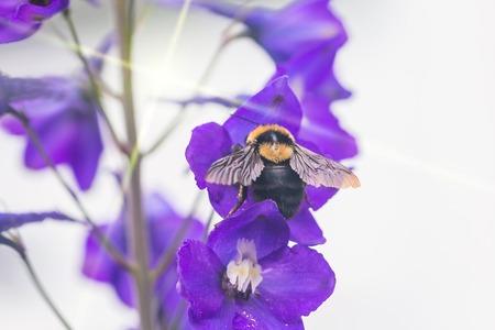 A macro shot of a bumblebee