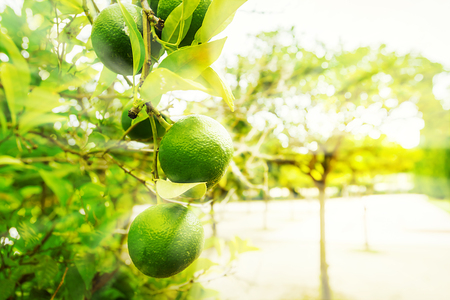 florida citrus: Lime tree with fruits