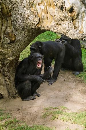 himpanzee family at the zoo
