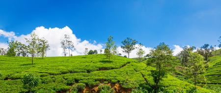 Green plantation of Ceylon tea. Bright terraced fields of tea plants in Sri Lanka Stock Photo