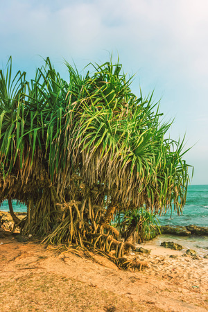 Tropical beach with yuccas trees. Stock Photo