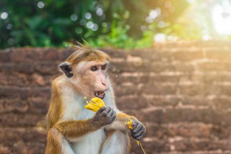 Adult monkey in Sri Lanka forest