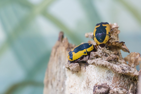 Black and yellow scarab beetle Pachnoda aemula on nature background
