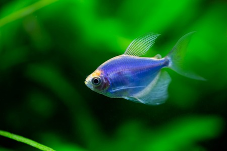 The blue tetra glofish 写真素材