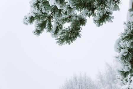 Winter landscape with snow and christmas trees. Merry christmas and happy new year greeting background. .